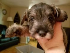 November 27th! Almost a month old!!! Mini Schnauzer Baby!