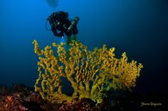https://flic.kr/p/F2w8Dn | Savalia savaglia - gold coral | Underwater Photography by Yiannis Iliopoulos