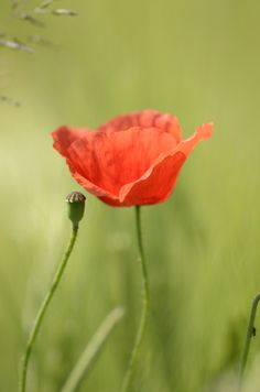 Mohnblume / Poppy by Bettigraphie  on 500px
