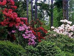Rododendron rhododendron tree solit r in garden for How to care for rhododendrons after blooming