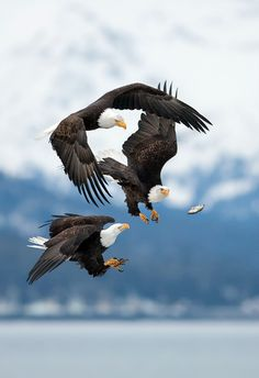 """""""Bald eagles"""" chasing after a dropped fish, AK. - we are the eagles.obama the fish lets get him! Pretty Birds, Beautiful Birds, Animals Beautiful, The Eagles, Bald Eagles, Photo Aigle, Animals And Pets, Cute Animals, Wild Animals"""