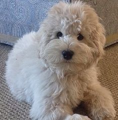 We are your professional breeder of Mini English Cream Doodles and Mini Golden Doodles in Kentucky! Mini Doodle, Doodle Dog, Cute Puppies, Cute Dogs, Dogs And Puppies, Doggies, Animals And Pets, Baby Animals, Cute Animals