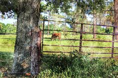 Rural Florida Life - by HH Photography of Florida  #ruralflorida #countrylife #cows via @hhphotography3
