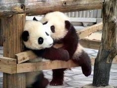 Unduh 61+ Gambar Panda Pelukan Paling Baru Gratis