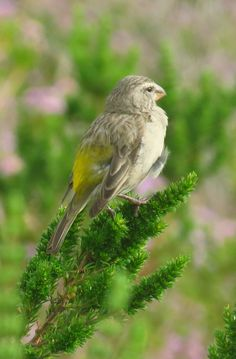 White-throated Canary, Tygerberg Res., Cape Town, SA, oct 1, 2016.IMG_14481