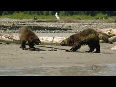 Wolverines are so sassy! What amazing and badass creatures! Check out this documentary. I saw one once, plain as day, from just a few feet away. I'll never forget the chills it sent down my spine.