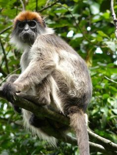 Ugandan Red colobus monkey