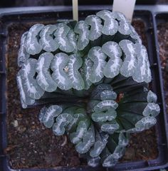 Haworthia truncata, japanese cv.