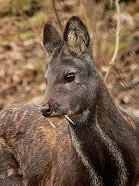 The Siberian musk deer (Moschus moschiferus) is found in the mountain forests of Northeast Asia. It is most common in the taiga of southern Siberia, but is also found in parts of Mongolia, Inner Mongolia, Manchuria and the Korean peninsula. The Siberian musk deer is classified as threatened by the IUCN. It is hunted for its musk gland, which fetches prices as high as $45,000 per kilogram.