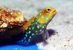 We need to get another one of these.. by far the coolest fish we have ever had in our tank! -- blue spotted jawfish