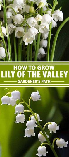 Finding the right flowering plants for your shade garden can be problematic, and early blooming and fragrant varieties can be few and far between. Luckily, there�s lily of the valley, a happy-to-spread and pleasantly scented addition that fits in those ne