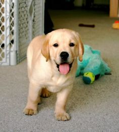 I will always love yellow labs