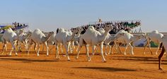 Saudi Arabia Announces the World's Biggest Heritage Festival and Camel Beauty Contest