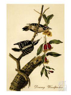 Downy Woodpecker Premium Poster by John James Audubon at Art.com