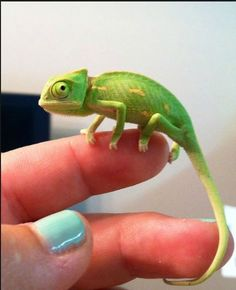 Baby Cameleon. He looks like a cute pokemon!