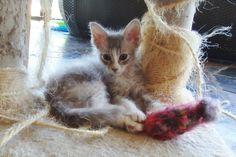 pretty little LaPerm kitty