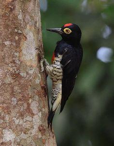 Yellow-tufted Woodpecker Melanerpes cruentatus - Google Search