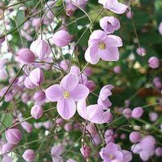 Thalictrum delavayi 'Splendide' ® akeleiruit  kleur violet rozebloeit van juli tot septemberfamilie Ranunculaceaehoog 150 cmplaats zon, vochtig sier, snijbloem En weer een nog best nieuwe.  Sterk en makkelijk in ieder geval.  Thalictrum delavayi heb ik altijd al geweldig gevonden, nu er zo veel selecties en kruisingen zijn begint het kiezen lastig te worden.  Ook hier belletjes bloemen op lange donkere dunne stengels.