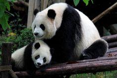 - - Pandas - - - Pixdaus