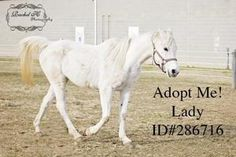 Lady is an adoptable Arabian Horse in Camden, DE. I am a 10 year old White/gray Arabian Mare. I am very sweet and calm. She does not seem to be broke to ride, so she would need training. She is friend...