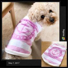 💓 ハンドメイドわんこ服🐶第2弾❣️ ・ 型紙補正して、またキッズTシャツで作ってみました〜(*^^*) ・ 何とかセーフかな。 ・ いつまでもタンクトップしか作れない気がする( ˙-˙ ; ) ・ ・ #福 #愛犬 #犬 #プードル #トイプードル #タイニープードル #dog #poodle #toypoodle #大切な家族 #最愛の息子 #愛おしい #大好き #幸せ #目に入れても痛くない #ワンコなしでは生きていけません会 #ふわもこ部 #ママミング #適当
