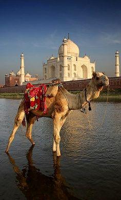Camel.. and..Taj Mahal, India
