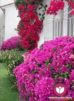 O Bouganville - conhecido popularmente como Primavera ou 3 Marias - é a planta…