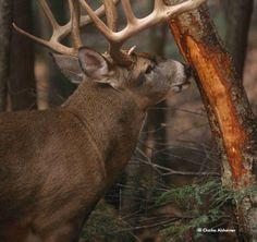 Reading Buck Rubs: http://community.deergear.com/tips/reading-buck-rubs/ | Legendary Whitetails