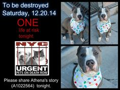 TO BE DESTROYED: 1 Dogs to be euthanized by NYC ACC- SAT. 12/20/14. This is a HIGH KILL shelter group. YOU may be the only hope for these pups! ****PLEASE SHARE EVERYWHERE.To rescue this Death Row Dog, Please read this:  http://urgentpetsondeathrow.org/must-read/    To view Athena's bio, please click here:    https://www.facebook.com/media/set/?set=a.611290788883804.1073741851.152876678058553&type=3
