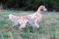 Hunting Dogs | Setter Ridge Kennels