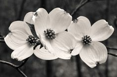 3 dogwood flowers 8x10 fine art black & by KSinclairPhotography, $25.00