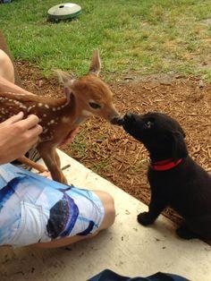 My black lab puppy met a fawn