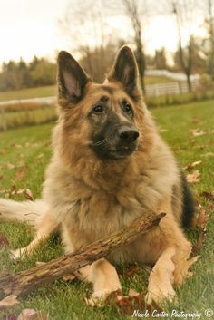 King Shepherd is cross-bred dog developed in the 1990s by blending German Shepherd Dogs with Shiloh Shepherds and Long Haired European German Shepherd