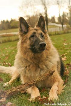 King Shepherd - I want one