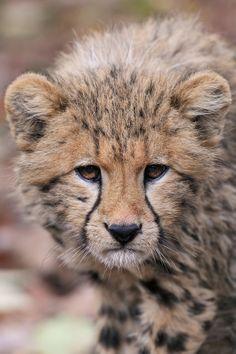Young Cheetah - by Josef Gelernter