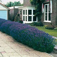 >Elegant Blue Lavender Plants « Elegant Survival News