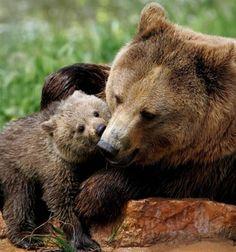 Bear cub kissing his mama.
