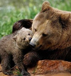 Grizzly Bear & Cub.