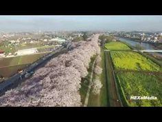 【ドローン】幸手権現堂桜堤2015 【4K空撮】 - YouTube