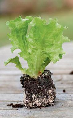 Die Überwinterung von Gartensalat im Freiland wird heute kaum noch praktiziert. Dabei sind viele traditionelle und auch einige neuere Sorten erstaunlich kältefest und brauchen kein Gewächshaus. Wie etwa der Winter-Kopfsalat, der jetzt gepflanzt und im Frühjahr geerntet werden kann.