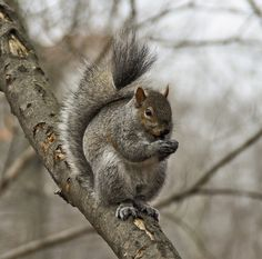 A grey squirrel in Toronto's High Park - cute little critter