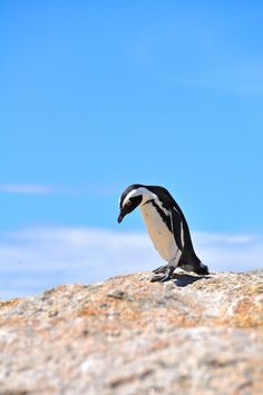 Boulders Beach by Necessary Indulgences. #CapeTown #SouthAfrica
