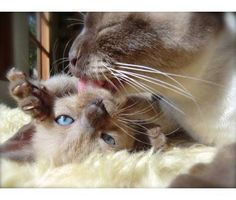 cats kittens for sale in San Francisco, California Best Cat Breeds, Rare Cat Breeds, Siamese Cats, Cats And Kittens, Domestic Cat Breeds, Tonkinese Cat, Oriental Cat, Mother Cat, Mama Cat