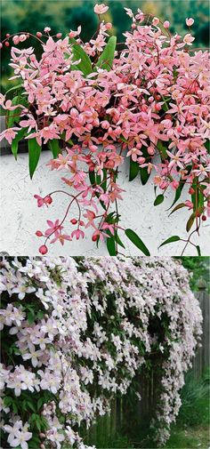 Favorite Flowering Vines and Climbing Plants favorite easy-to-grow fragrant flowering vines for year-round beauty. Plant them for an arbor, pergola or fence to create gorgeous outdoor rooms! - A Piece Of favorite easy-to-grow fragrant flower Garden Shrubs, Lawn And Garden, Garden Plants, Flowering Plants, Garden Beds, Tree Garden, Fence Plants, Fence Garden, Garden Trellis