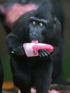 A confused-looking Sulawesi CRESTED BLACK MACAQUE might not have been too sure about this icy pink pop, but it ventured a taste anyway. Couldn't resist a sweet treat!