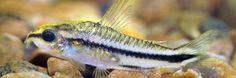 Kirysek Pigmej - Pigmejek - ryba akwariowa fot.planetcatfish.com