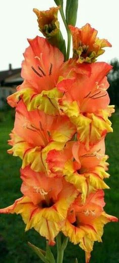 Growing gladiolus flowers in gardens and pots is easy. Gladiolus flowers are loved by many gardeners. Not only are the flowers easy to grow but they also. Exotic Flowers, Orange Flowers, Summer Flowers, Amazing Flowers, Colorful Flowers, Beautiful Flowers, Gladiolus Flower, Blossom Garden, Calla