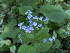 Felder von Vergiß-mein-nicht blühen Felder, Garden, Plants, Garten, Gardening, Plant, Outdoor, Gardens, Yard
