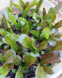 Your/ Guide to Growing Lettuce in Containers