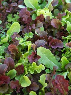 Wildfire Lettuce Mix  Who says you have to grow lettuce varieties separately? Sowing several types together creates your own mesclun mix, which is simply a combination of various salad greens. The Wildfire Lettuce Mix pictured here combines 'Outredgeous', 'Garrison', 'Blackjack', 'Tango', 'Royal Oak', 'Parris island', and 'Saladbowl' lettuces for a colorful salad garden in a single bed.